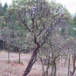 Large Manzanita Tree