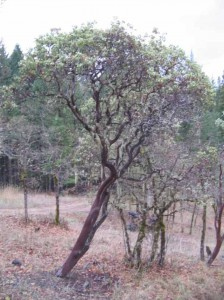 Large Manzanita Tree